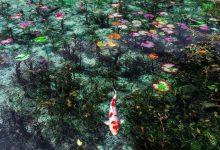 Giappone, lo stagno che sembra un quadro di Monet