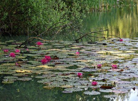 Brianza, sbocciano le ninfee: il lago Azzurro sembra un quadro di Monet